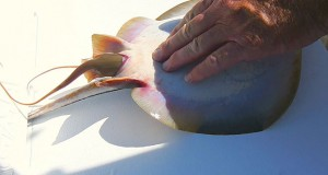 Ψαράς βοήθησε σαλάχι να γεννήσει (Video)