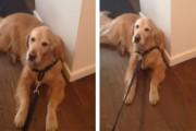 Σκύλος αρνείται να βγει για βόλτα με τον πιο ήρεμο και παθητικό τρόπο