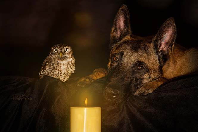 Σκύλος και κουκουβάγια σε μια ασυνήθιστη φιλία (1)