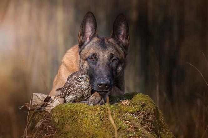 Σκύλος και κουκουβάγια σε μια ασυνήθιστη φιλία (2)