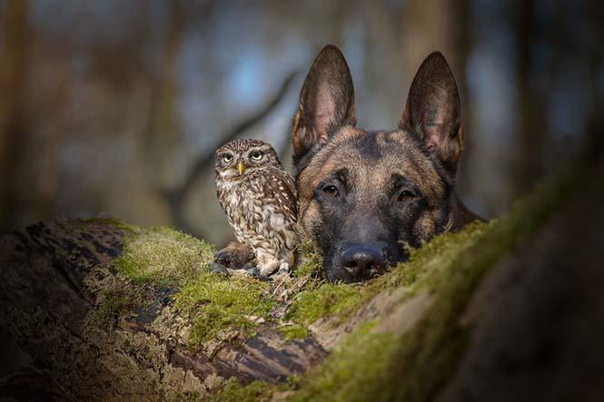 Σκύλος και κουκουβάγια σε μια ασυνήθιστη φιλία (4)