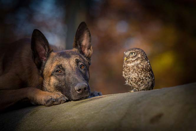 Σκύλος και κουκουβάγια σε μια ασυνήθιστη φιλία (6)