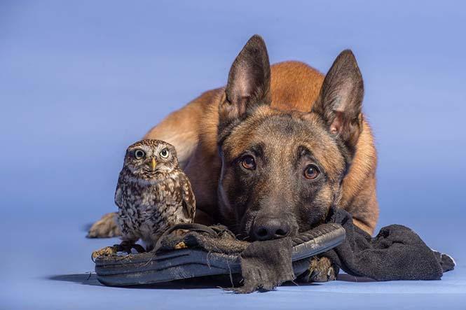 Σκύλος και κουκουβάγια σε μια ασυνήθιστη φιλία (7)