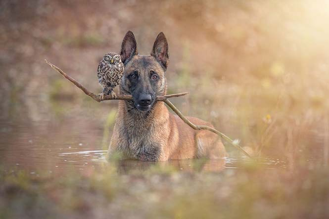 Σκύλος και κουκουβάγια σε μια ασυνήθιστη φιλία (8)