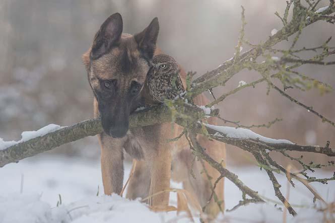 Σκύλος και κουκουβάγια σε μια ασυνήθιστη φιλία (9)