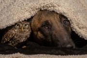 Σκύλος και κουκουβάγια σε μια ασυνήθιστη φιλία (10)