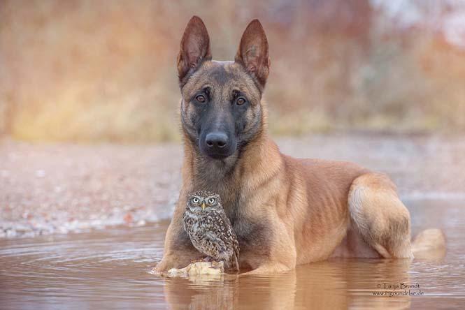 Σκύλος και κουκουβάγια σε μια ασυνήθιστη φιλία (11)
