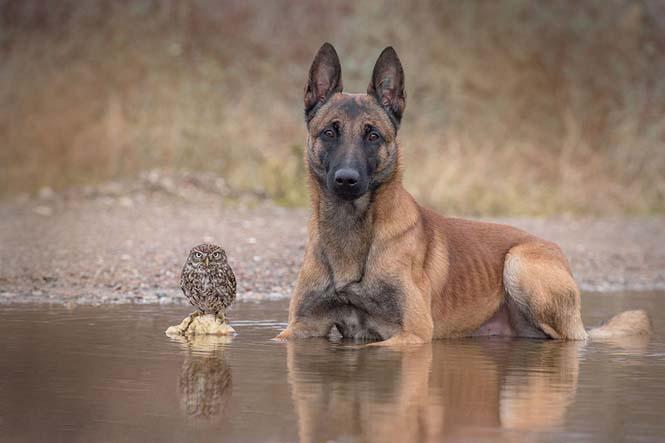 Σκύλος και κουκουβάγια σε μια ασυνήθιστη φιλία (14)