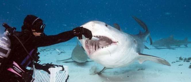 Στο εσωτερικό του στόματος ενός καρχαρία (2)