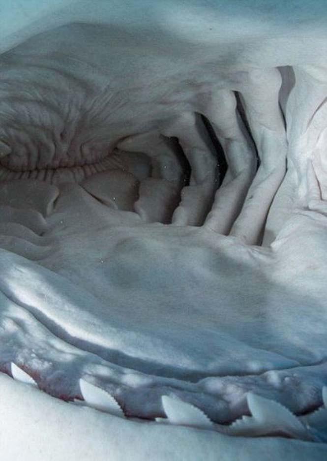 Στο εσωτερικό του στόματος ενός καρχαρία (10)