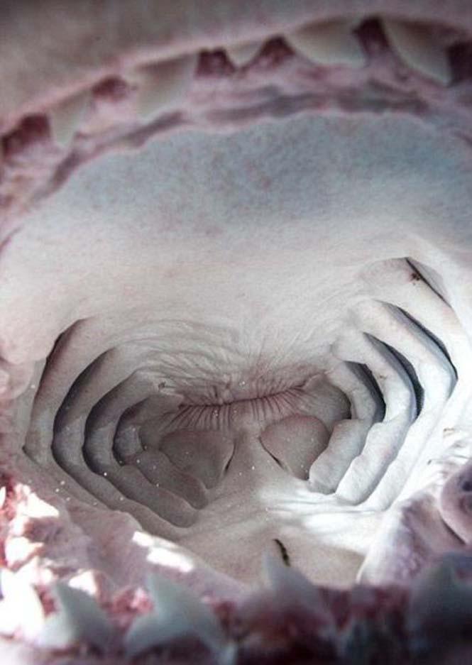 Στο εσωτερικό του στόματος ενός καρχαρία (11)