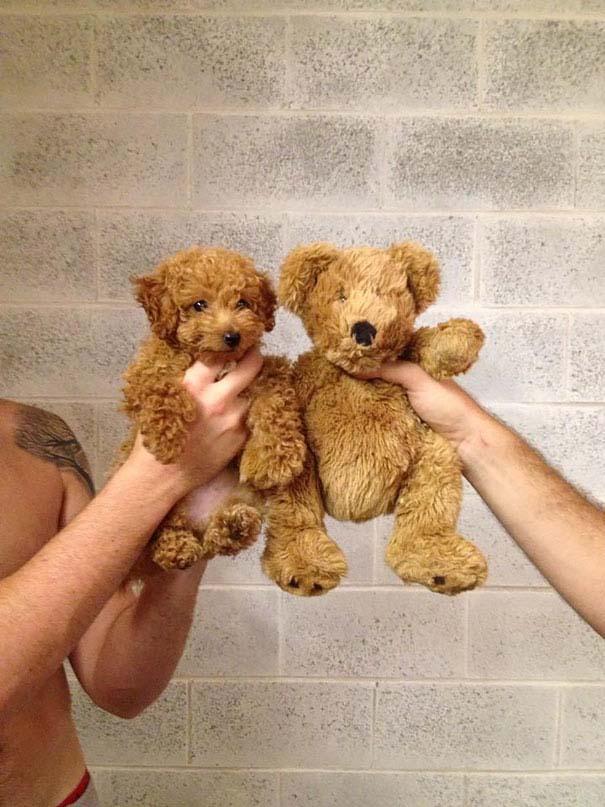 Στρουμπουλά κουτάβια που μοιάζουν με αρκουδάκια (14)