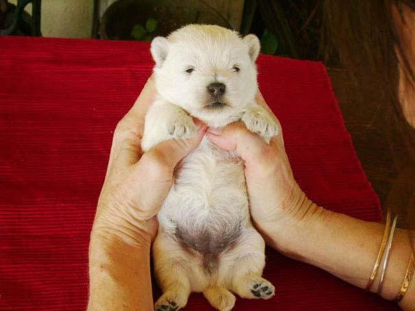 Στρουμπουλά κουτάβια που μοιάζουν με αρκουδάκια (25)