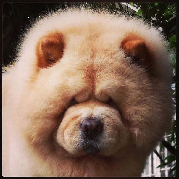 Στρουμπουλά κουτάβια που μοιάζουν με αρκουδάκια (30)