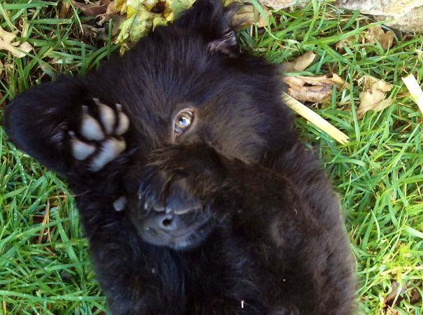 Στρουμπουλά κουτάβια που μοιάζουν με αρκουδάκια (34)