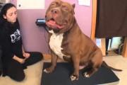 Το πιο θηριώδες Pitbull στον κόσμο ζυγίζει 78 κιλά και είναι μόλις 17 μηνών