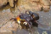 Χταπόδι βγαίνει από το νερό και επιτίθεται σε καβούρι
