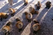 Χωριό των αλεπούδων στην Ιαπωνία (9)