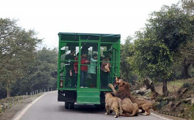 Ζωολογικός κήπος αντιστρέφει τους ρόλους (3)