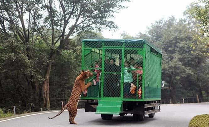 Ζωολογικός κήπος αντιστρέφει τους ρόλους (4)