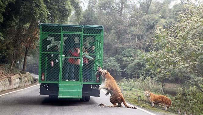 Ζωολογικός κήπος αντιστρέφει τους ρόλους (5)