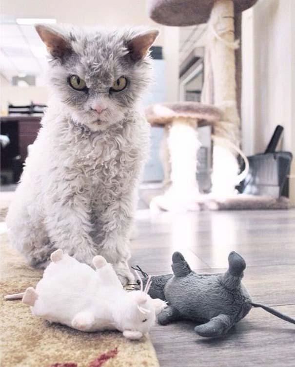 Albert, ο γάτος που μοιάζει να θέλει να δολοφονήσει τους πάντες (7)