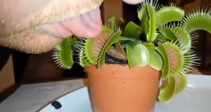 Είχε την τραγική ιδέα να βάλει την γλώσσα του σε ένα σαρκοφάγο φυτό (Video)