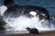 Φάλαινα δολοφόνος βγαίνει κυριολεκτικά στην άμμο για να αρπάξει το θήραμα της