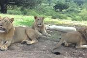 Λιοντάρι ανοίγει την πόρτα αυτοκινήτου με τουρίστες