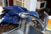 Παπαγάλος μετατρέπει μια βρύση σε ντους και απολαμβάνει το μπάνιο του