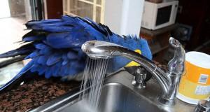 Παπαγάλος μετατρέπει μια βρύση σε ντους και απολαμβάνει το μπάνιο του (Video)