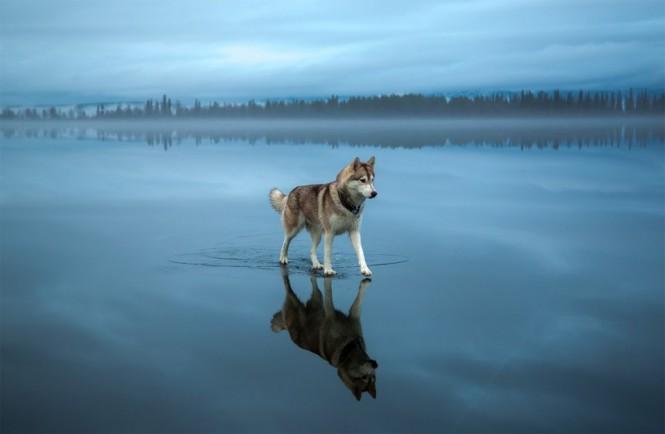 Χάσκι περπατάει σε παγωμένη λίμνη | Φωτογραφία της ημέρας
