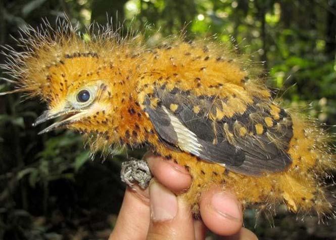 Αυτό το πτηνό έχει ένα ενδιαφέρον σύστημα άμυνας (2)