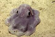 Χταπόδι Dumbo