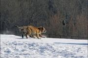 Ακόμα και οι τίγρεις αποτυγχάνουν... (1)