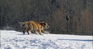 Ακόμα και οι τίγρεις αποτυγχάνουν…
