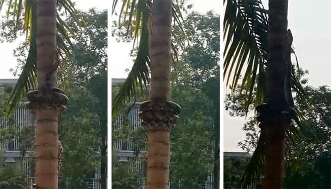 Δείτε την τεχνική αυτού του φιδιού για να ανεβαίνει στα δένδρα