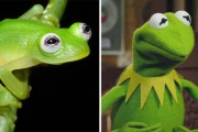 Εντοπίστηκε βάτραχος που είναι ίδιος ο Kermit (1)