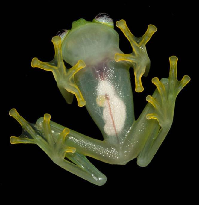 Εντοπίστηκε βάτραχος που είναι ίδιος ο Kermit (2)