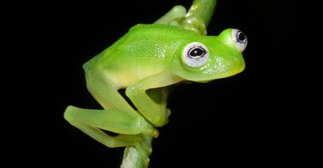 Εντοπίστηκε βάτραχος που είναι ίδιος ο Kermit (3)