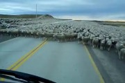 Φορτηγό προσπαθεί να περάσει μέσα από μια... θάλασσα από πρόβατα