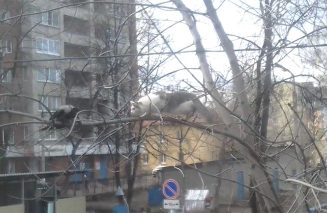 Κοράκι τρολάρει γάτα πάνω σε δένδρο