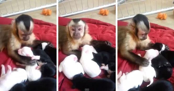 Μαϊμού συναντά κουτάβια για πρώτη φορά