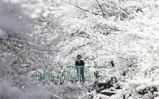 Ανθισμένες κερασιές στο Τόκιο της Ιαπωνίας   Φωτογραφία της ημέρας