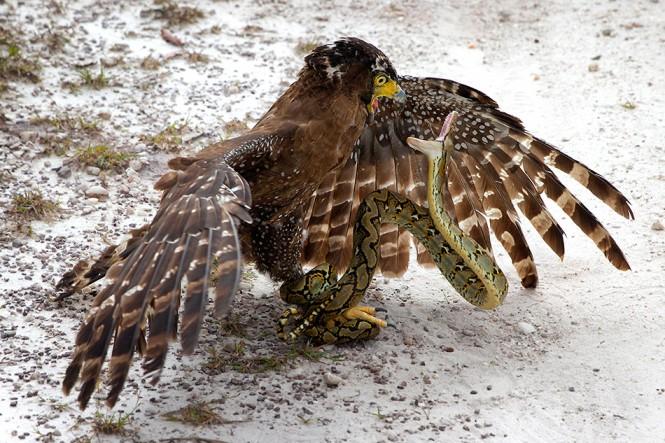 Αετός εναντίον φιδιού | Φωτογραφία της ημέρας