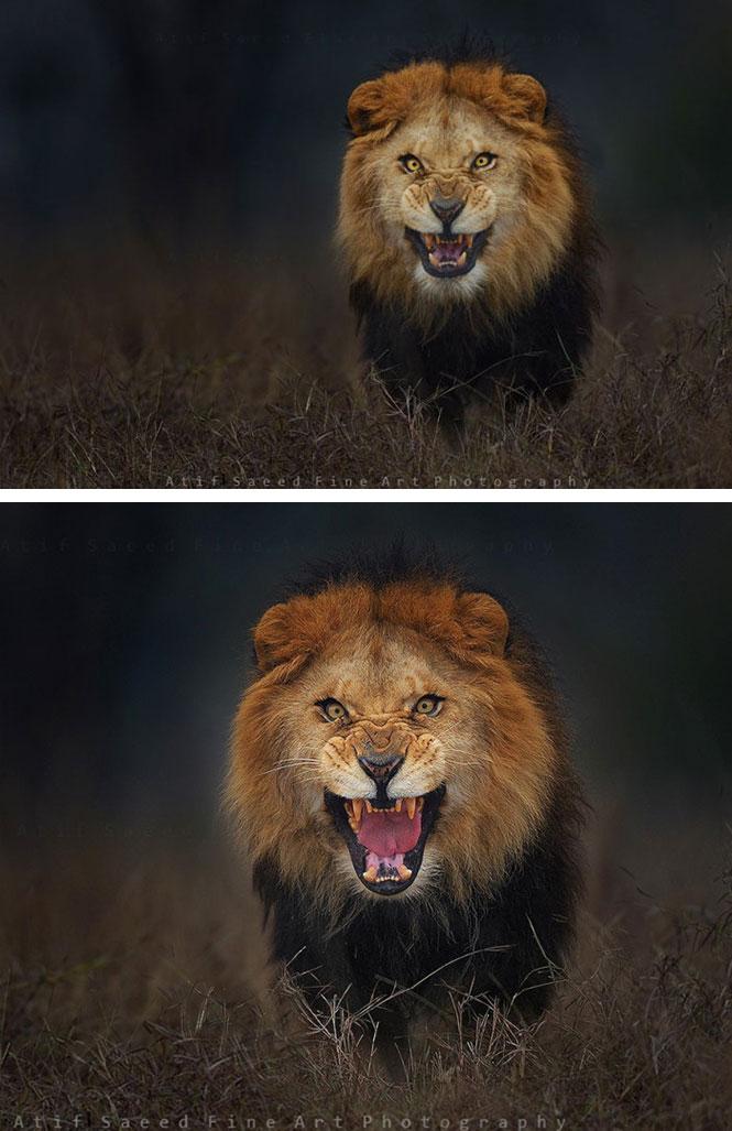 Αγριεμένο λιοντάρι ετοιμάζεται να επιτεθεί | Φωτογραφία της ημέρας