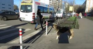 Τα ζώα στην Ρωσία ξέρουν πως να περνούν τον δρόμο (Video)