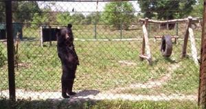 Αρκούδα περπατάει σαν άνθρωπος! (Video)