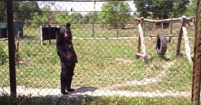 Αρκούδα περπατάει σαν άνθρωπος