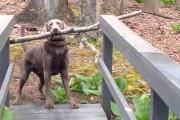 Αυτός ο σκύλος μόλις βρήκε το τέλειο ξύλο και τώρα πρέπει να το περάσει από μια στενή γέφυρα
